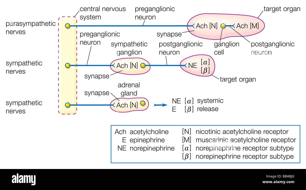 Organization of the autonomic nervous system showing the key role organization of the autonomic nervous system showing the key role of acetylcholine in the transmission of nervous impulses ccuart Gallery