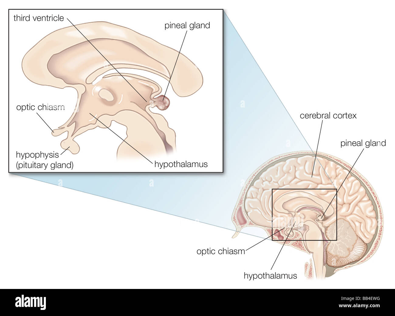 The human pineal gland Stock Photo: 24071084 - Alamy