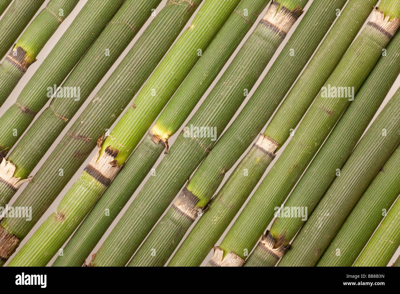 Horsetail, several diagonal culms - Stock Image