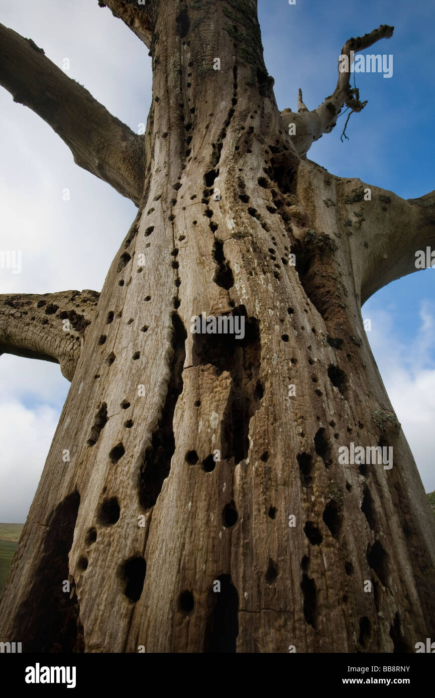 Dead tree rotting from the inside due to Dutch Elm Disease North Yorkshire UK Stock Photo