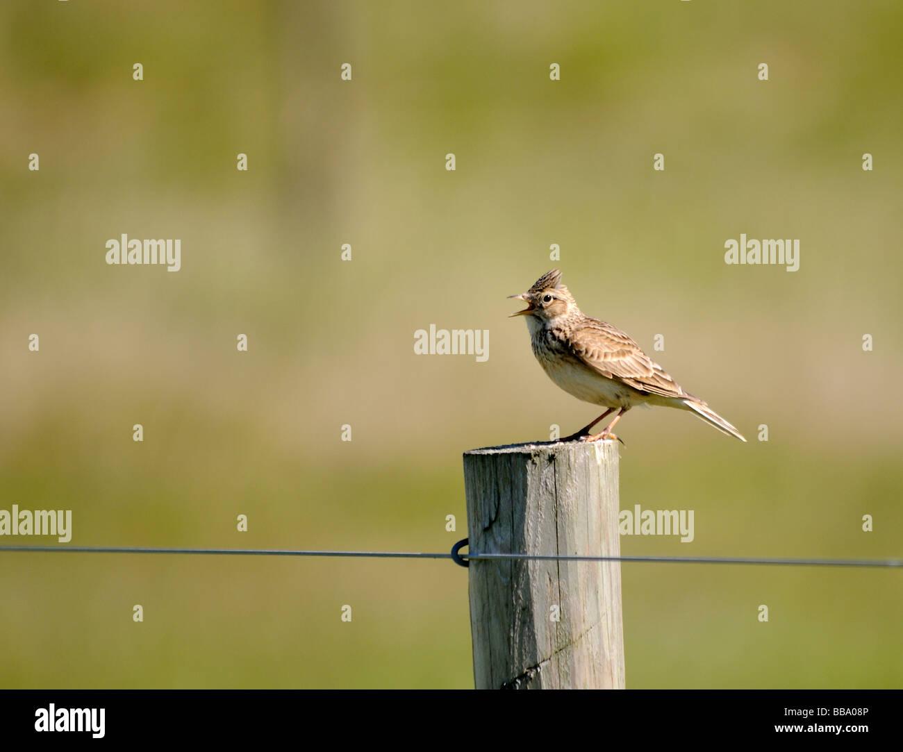A skylark (Alauda arvensis) stands singing on a fence post. - Stock Image