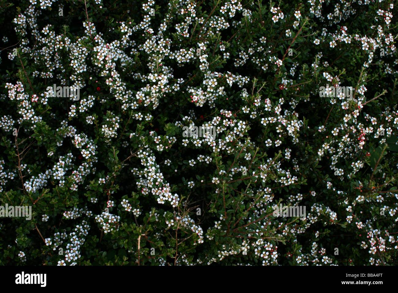 Bush small white flowers on stock photos bush small white flowers white flowers on a bush stock image mightylinksfo Images