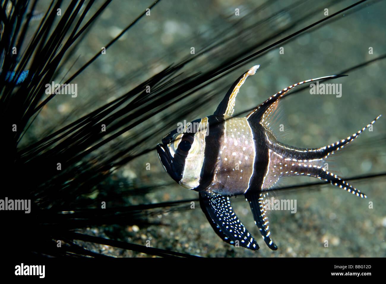 Cardinal fish and sea urchin. - Stock Image