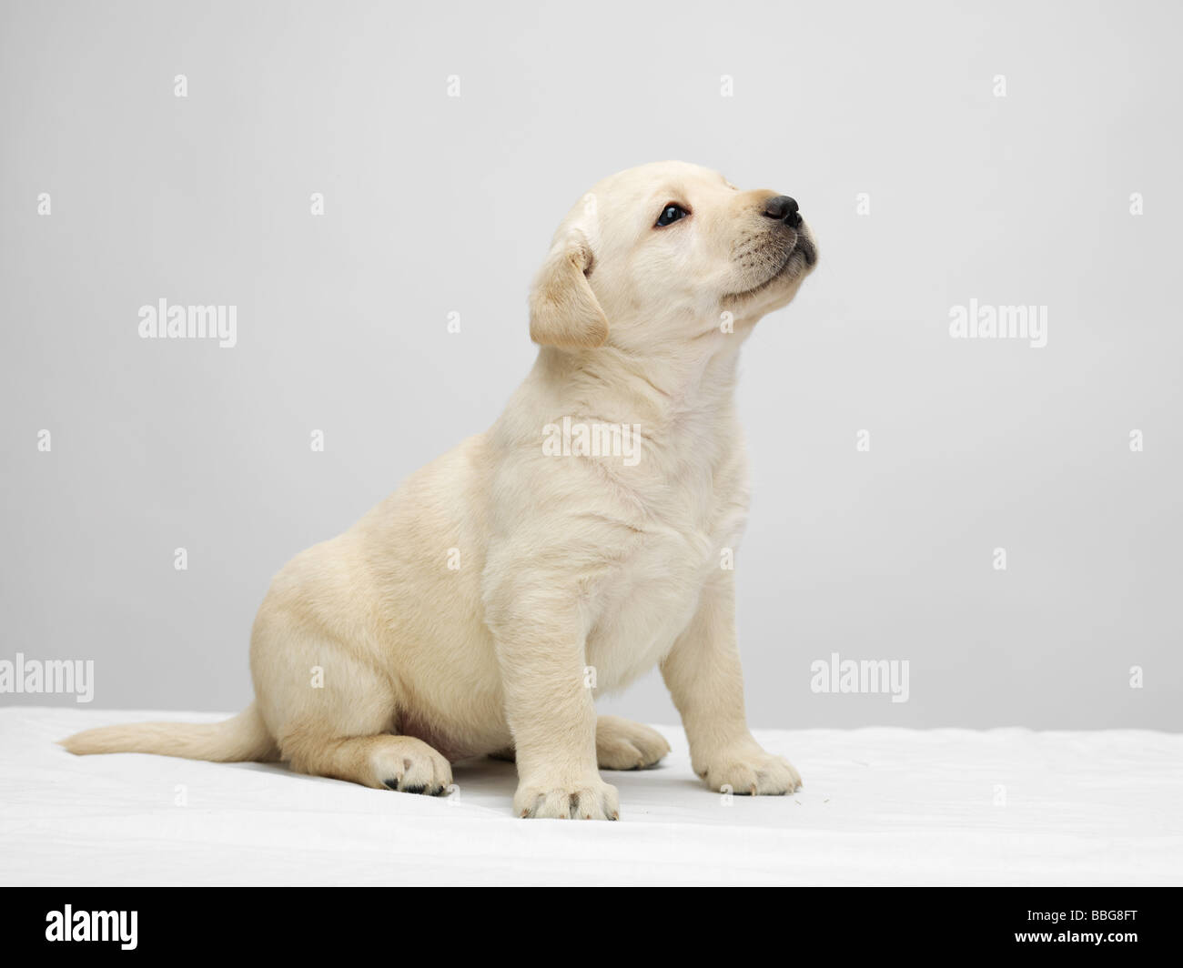 Simple Grey Chubby Adorable Dog - single-labrador-puppy-sitting-and-looking-up-on-a-white-table-against-BBG8FT  Graphic_765239  .jpg
