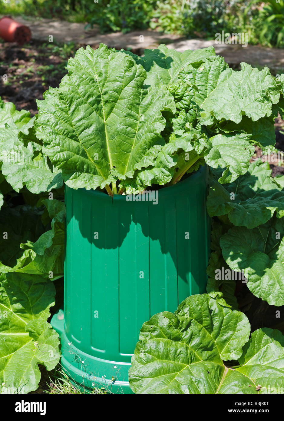 'Timperley Early' rhubarb being forced to produce long sticks for picking - Stock Image