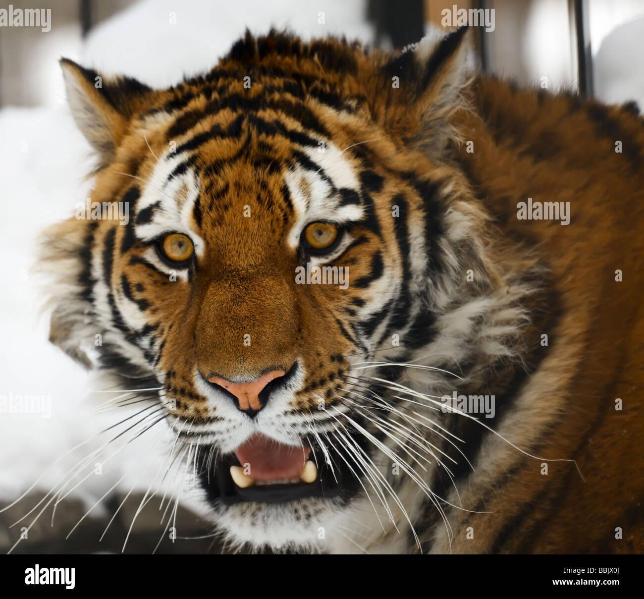Yiung tiger portrait Novosibirsk ZOO - Stock Image