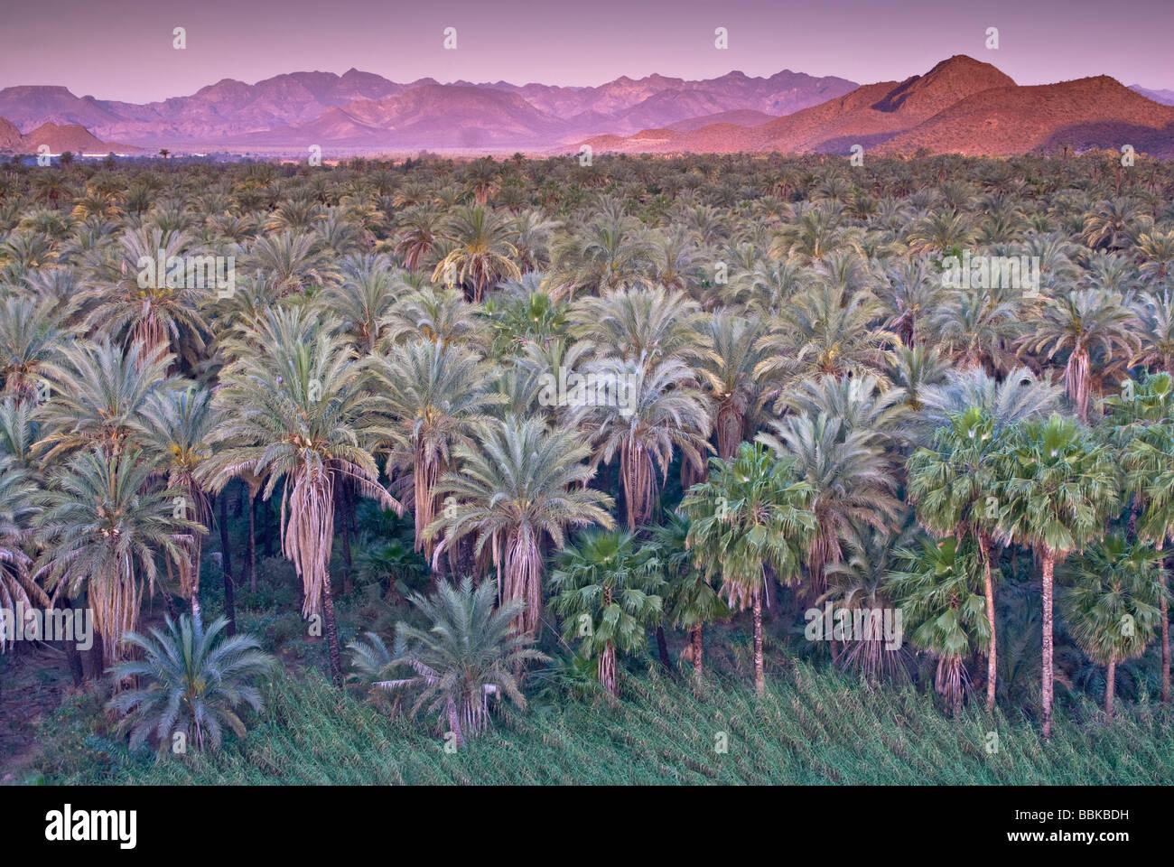 Date and fan palms at sunrise Mulege Sierra de Guadalupe in distance Baja California Sur Mexico - Stock Image