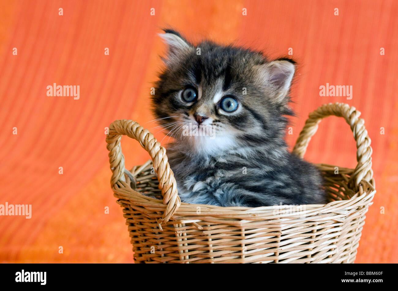Domestic cat, kitten - Stock Image