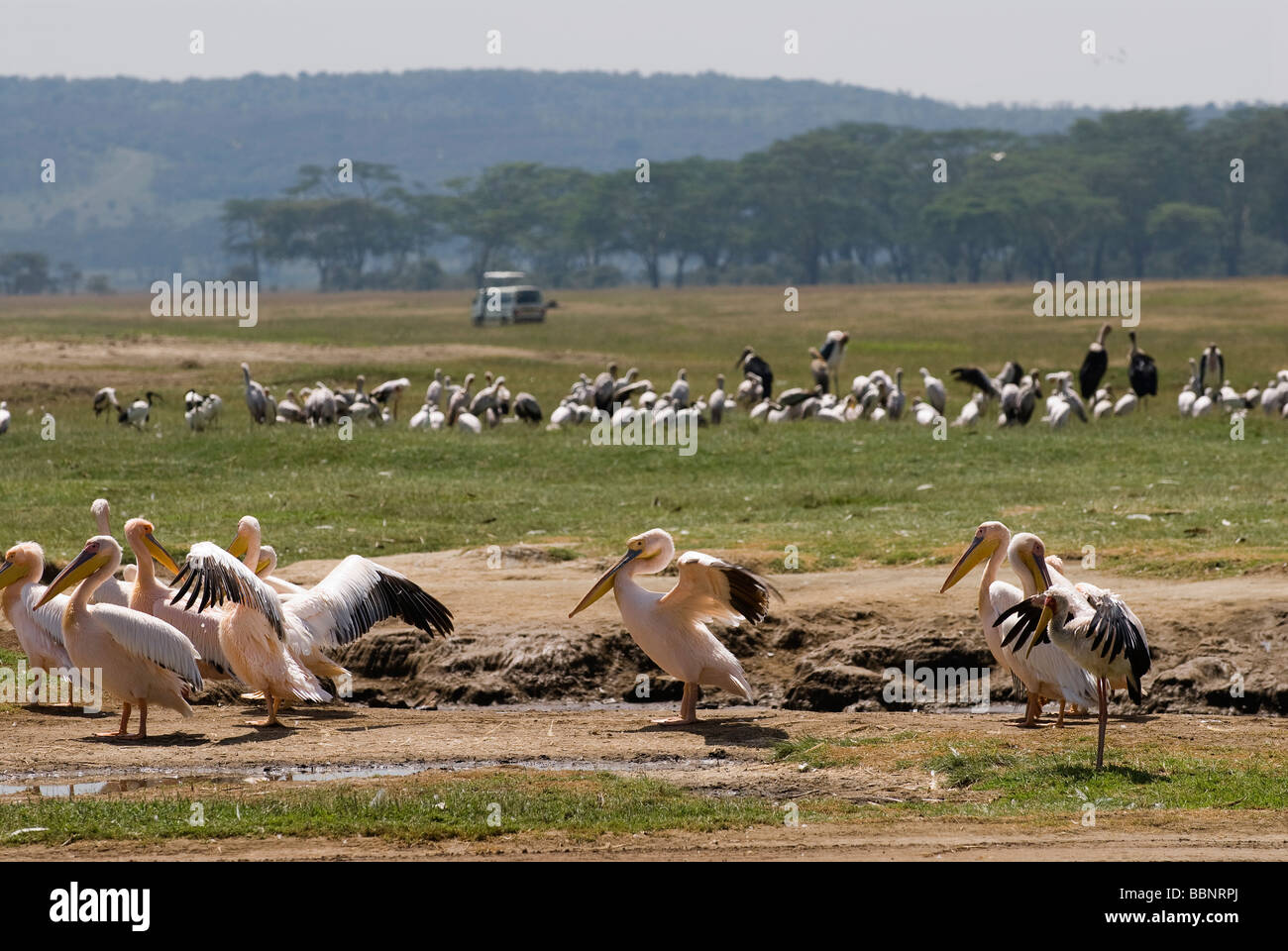 great white Pelicanus PELECANUS ONOCROTALUS NAKURU NATIONAL PARK KENYA East Africa - Stock Image