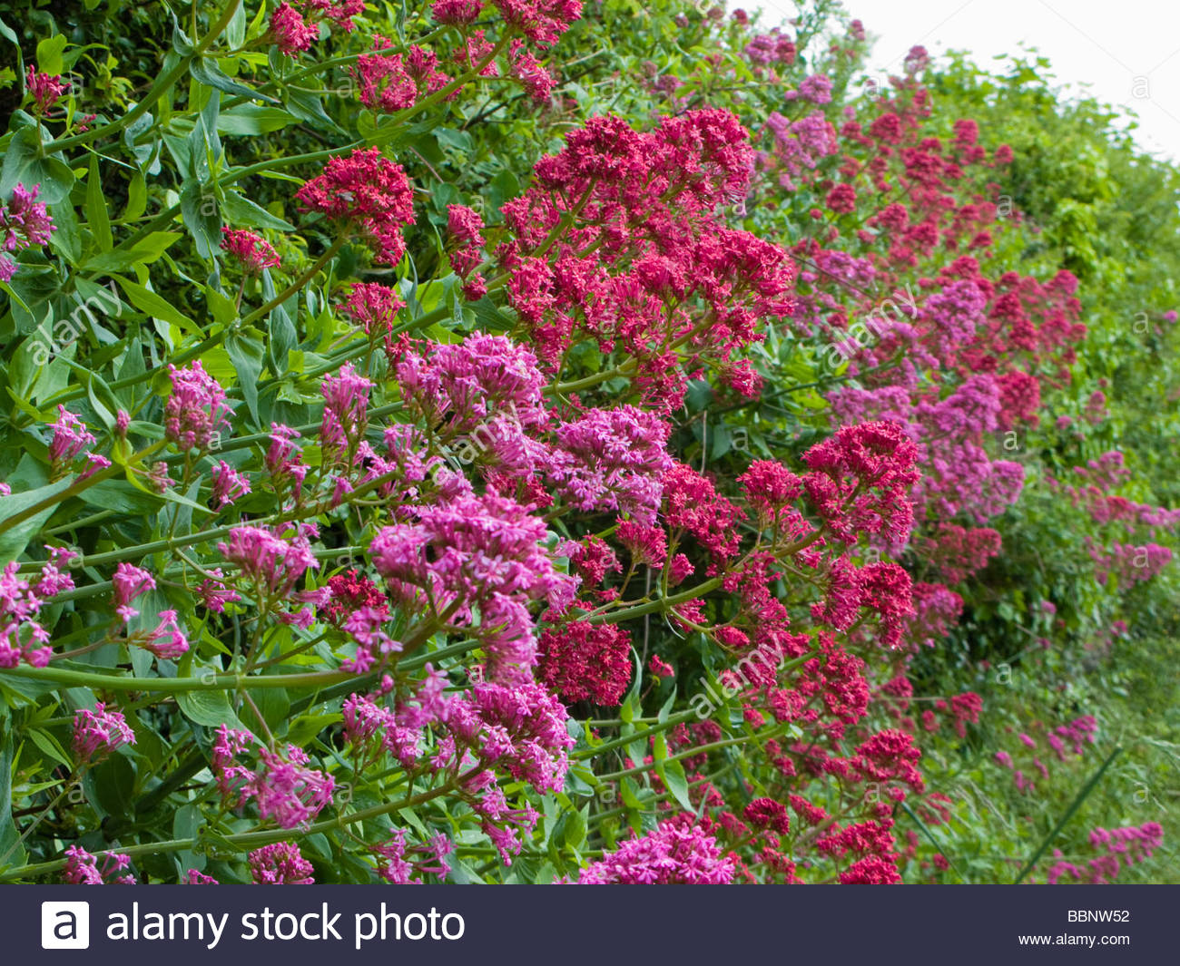 Cats Valerian Valeriana officianalis growing in wall in Cornwall - Stock Image