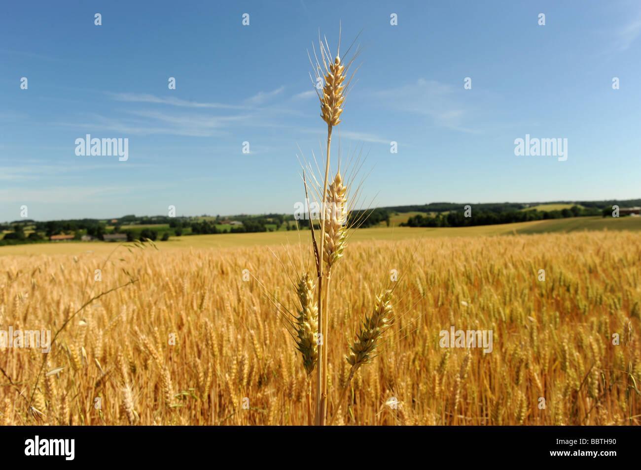 Fields of  barley - Stock Image