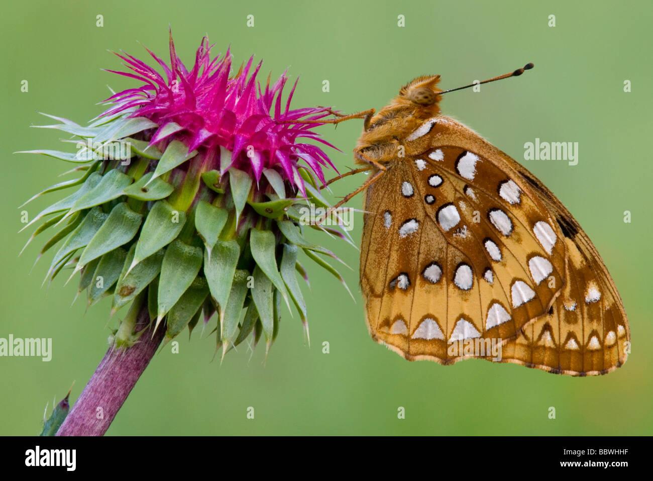 Aphrodite Fritillary Speyeria aphrodite on Nodding Thistle Eastern USA Stock Photo