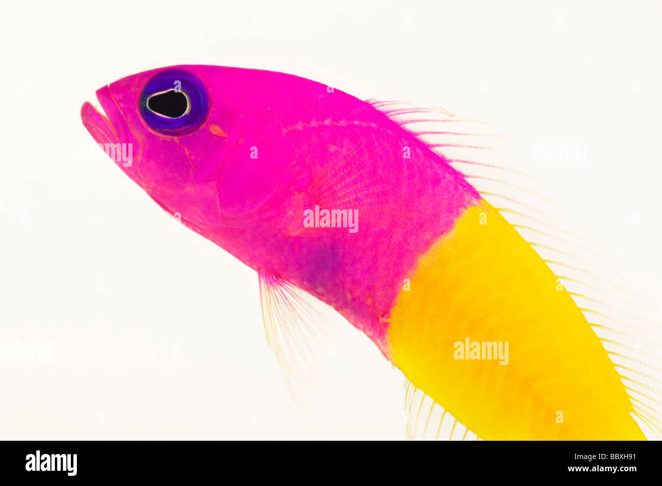Dottyback Pseudochromis paccagnellae Tropical marine reef fish - Stock Image