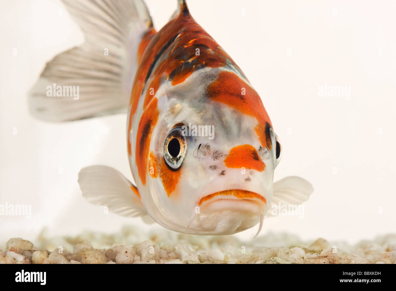 Koi fish Domesticated variety of the common carp Cyprinus carpio bred in different colour patterns Against white - Stock Image