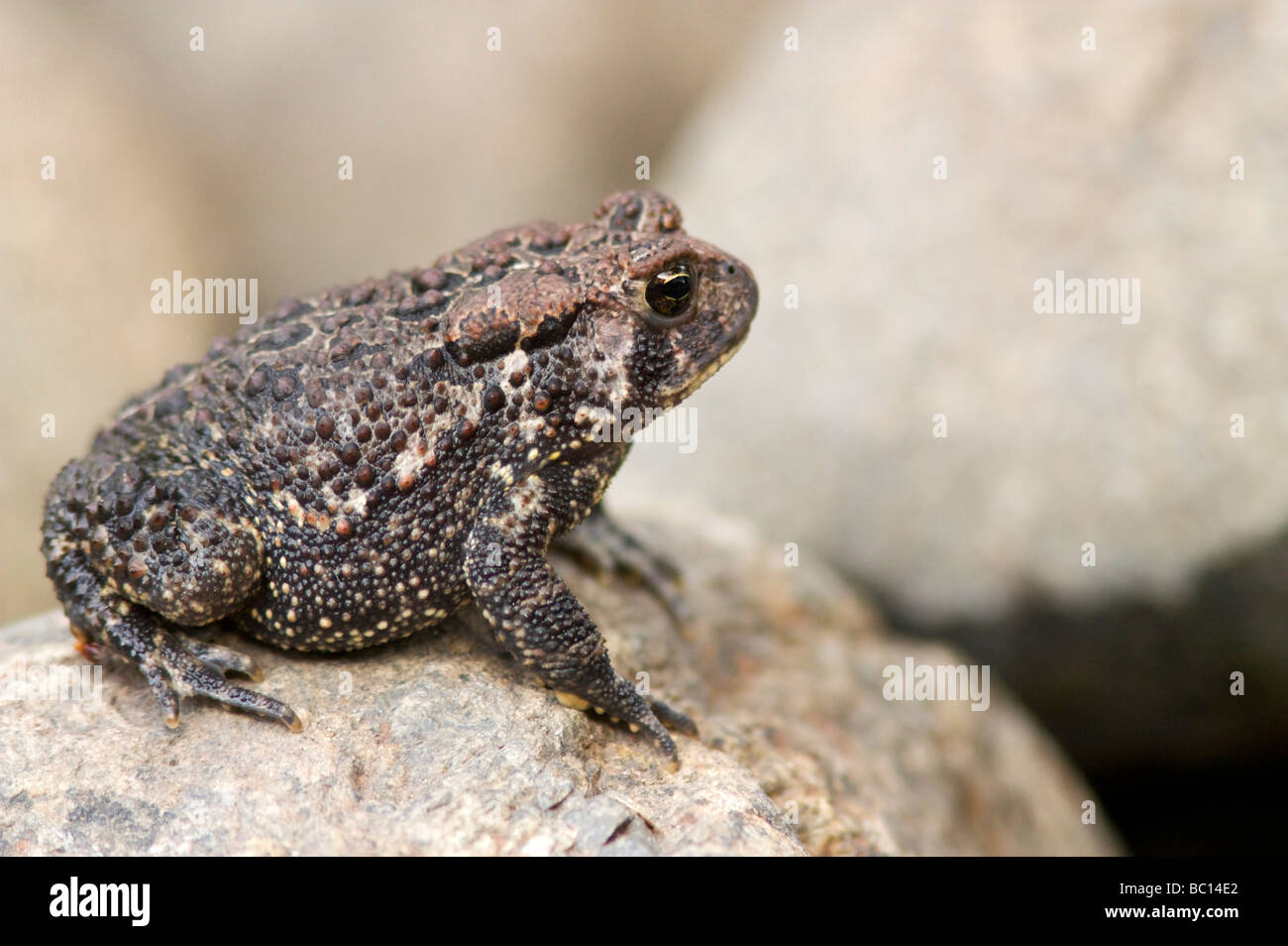 american-toad-bufo-americanus-sitting-on