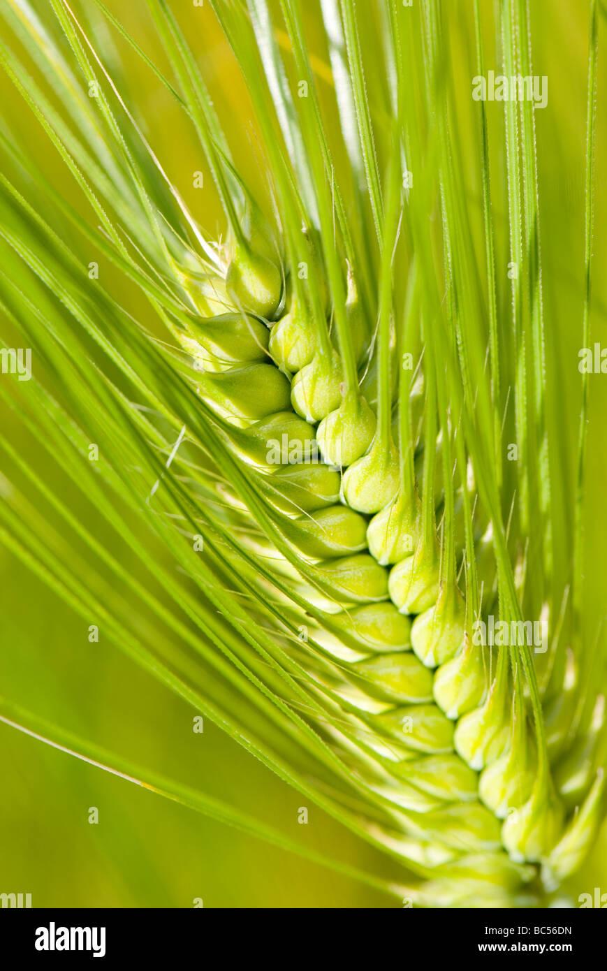 Barley Hordeum vulgare - Stock Image