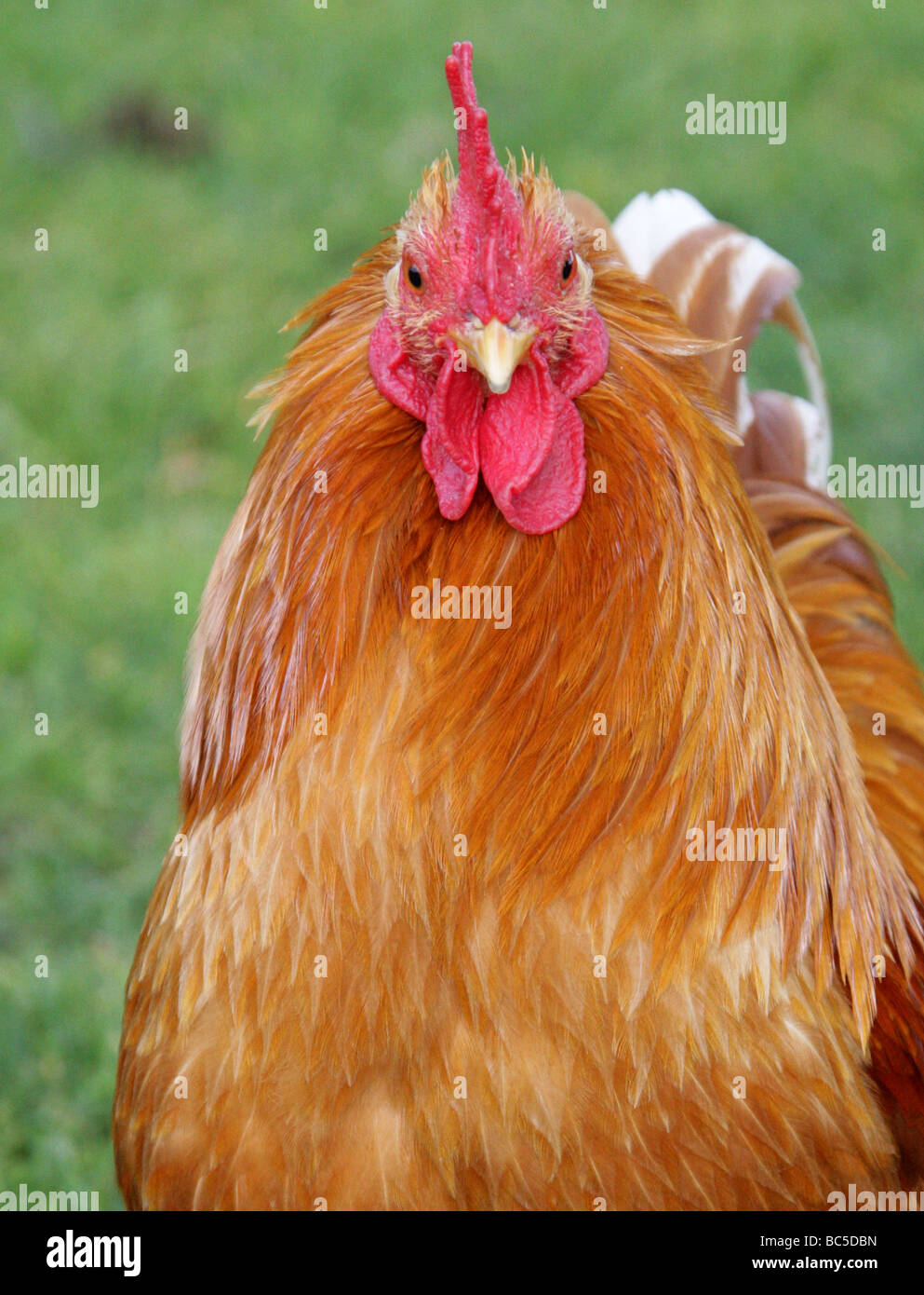 Domesticated Chicken, 'Orpington' Rooster, Gallus gallus domesticus, Phasianidae, Galliformes - Stock Image
