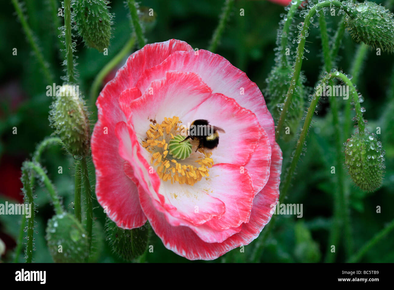 Poppies After The Rain Stock Photo 24715133 Alamy