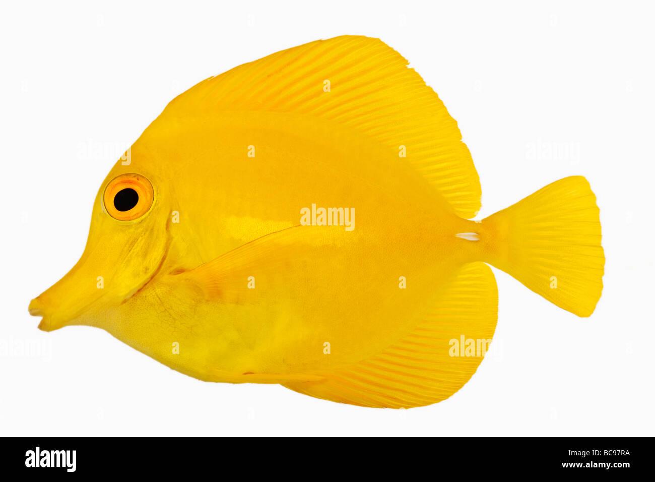 Yellow tang fish Zebrasoma flavescens Also known as Yellow Hawaiian Tang Yellow Sailfin Tang or Yellow Surgeonfish - Stock Image