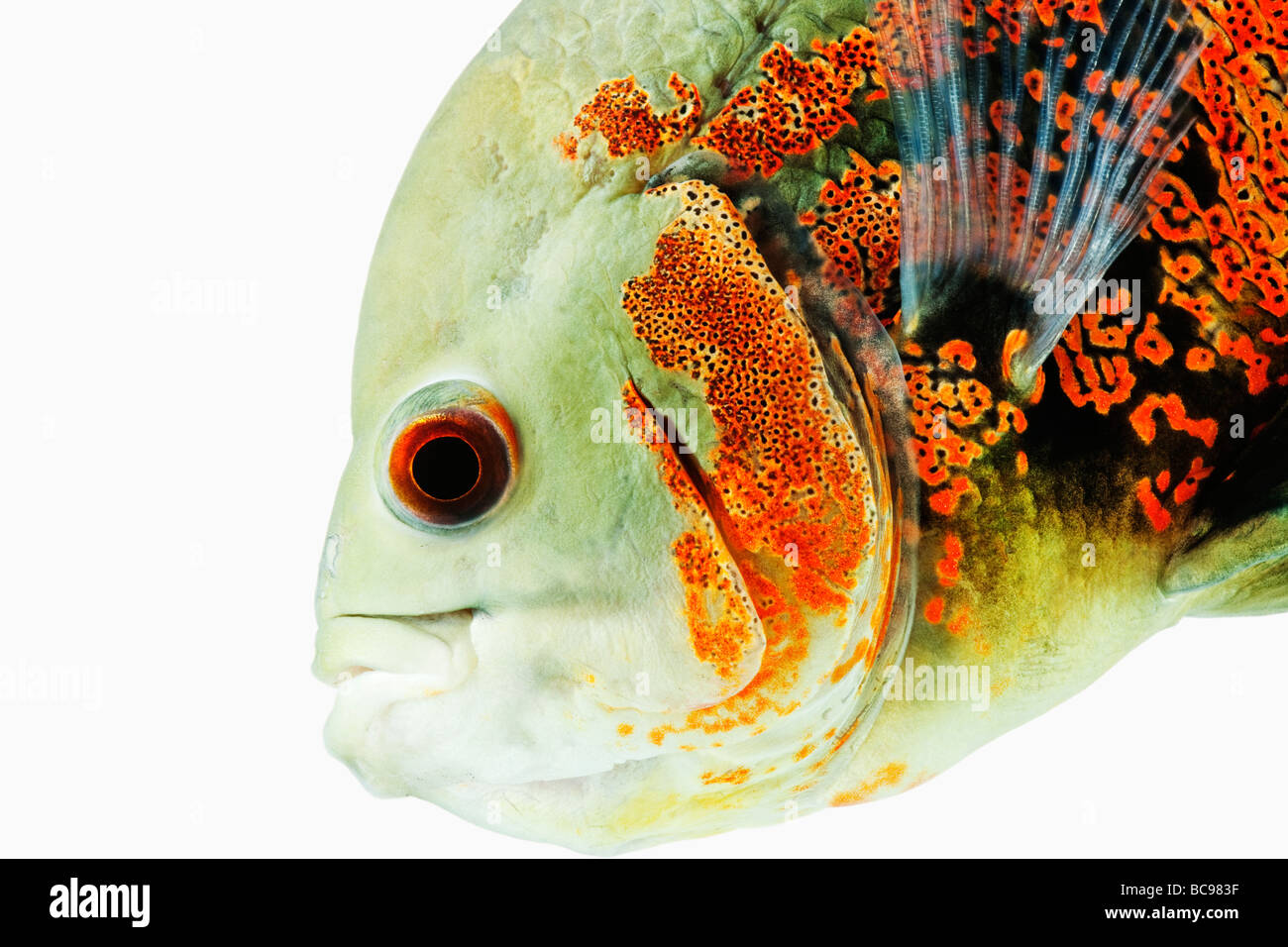 Oscar fish Astonotus ocellatus Tropical Freshwater fish Dist Brazil French Guinea Columbia and Peru, amazon river - Stock Image