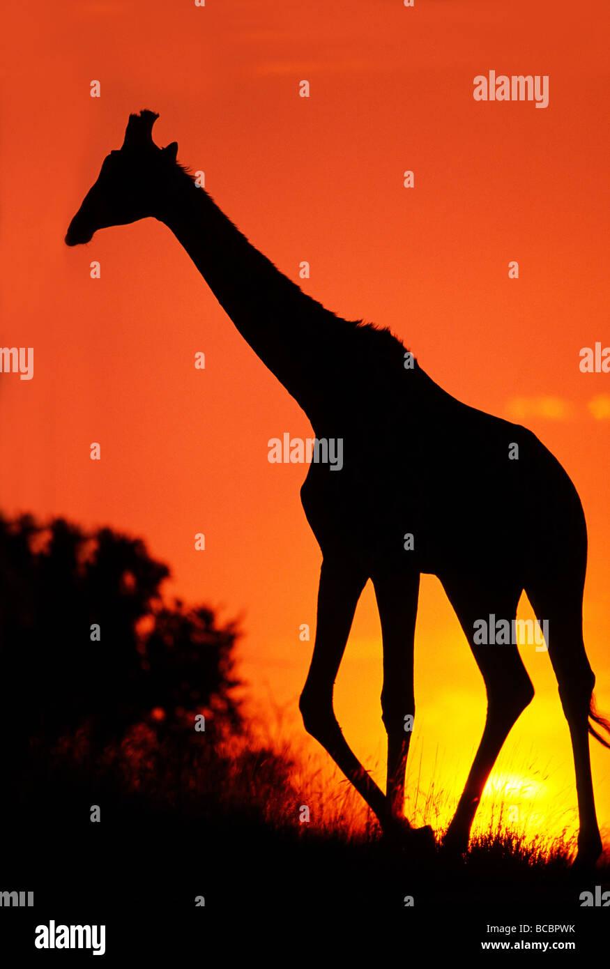 AFRICAN GIRAFFE AT SUNSET - Stock Image