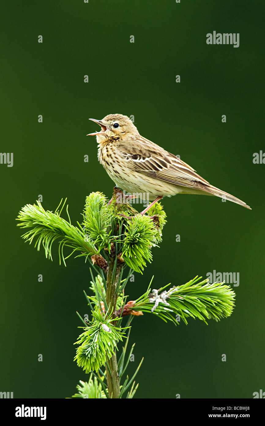 TREE PIPIT (Anthus trivialis) singing from top of spruce tree - Stock Image