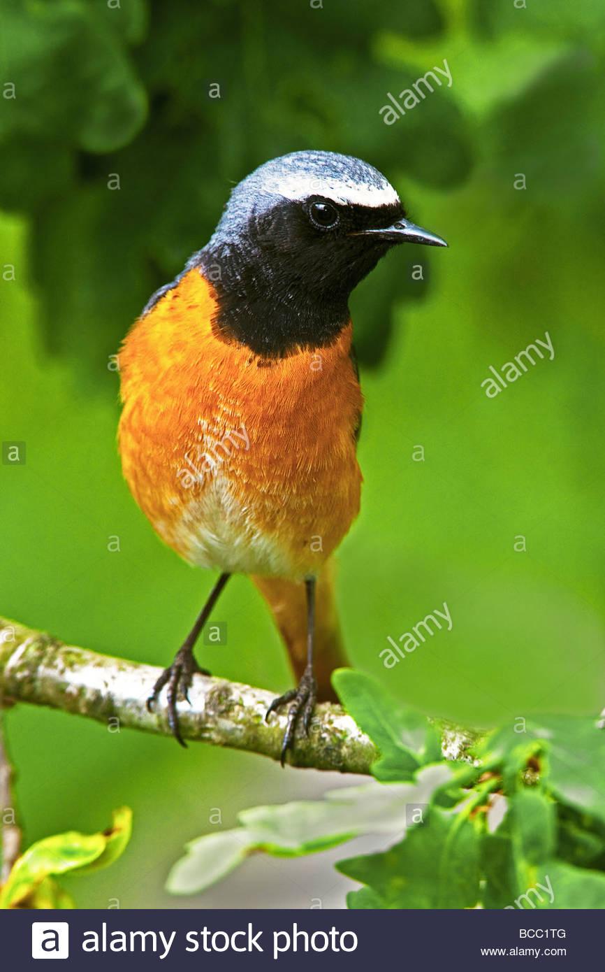REDSTART (Phoenicurus phoenicurus). Male perched on branch of oak tree. - Stock Image