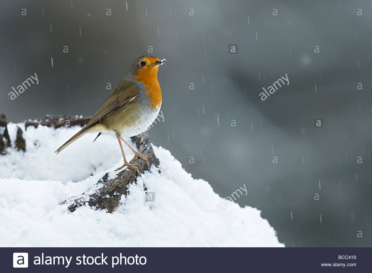 ROBIN IN SNOWFALL - Stock Image