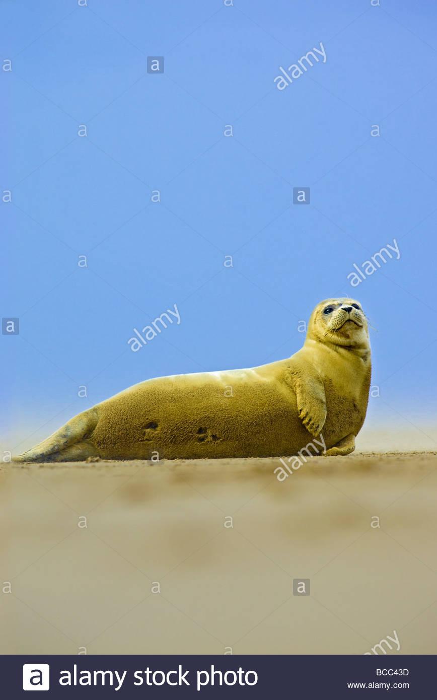 COMMON SEAL (Phoca vitulina) - Stock Image