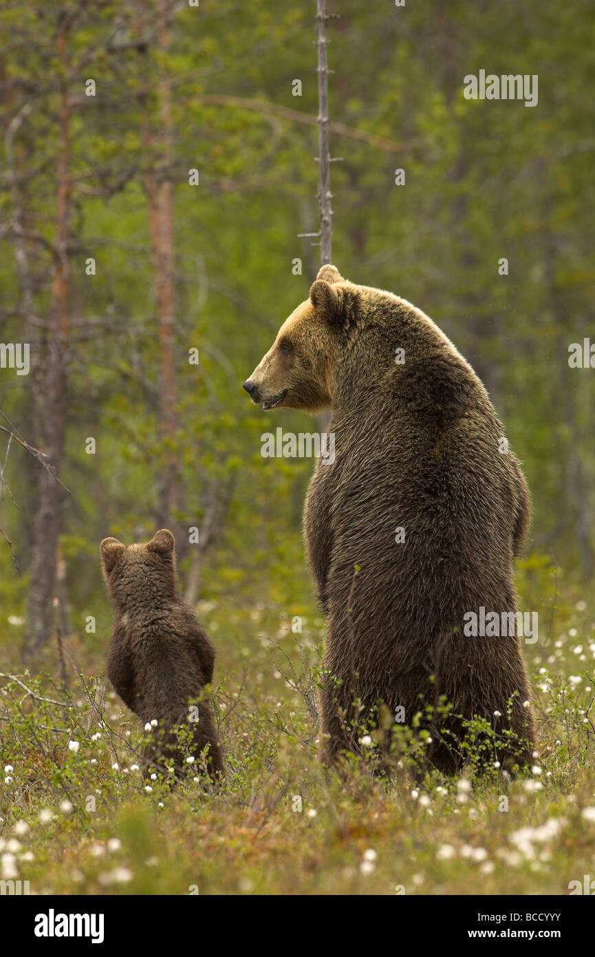 European brown bear (Ursos arctos) female and cub at the edge of a boreal forest in late evening light. Finland. - Stock Image