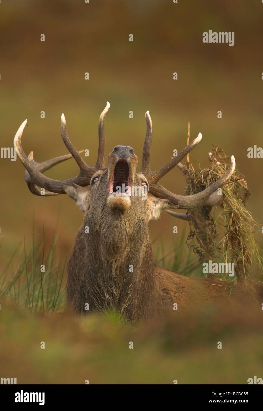 Red deer (Cervus elaphus) stag roaring during the autumnal rut. Bradgate Park. Leicestershire. UK - Stock Image