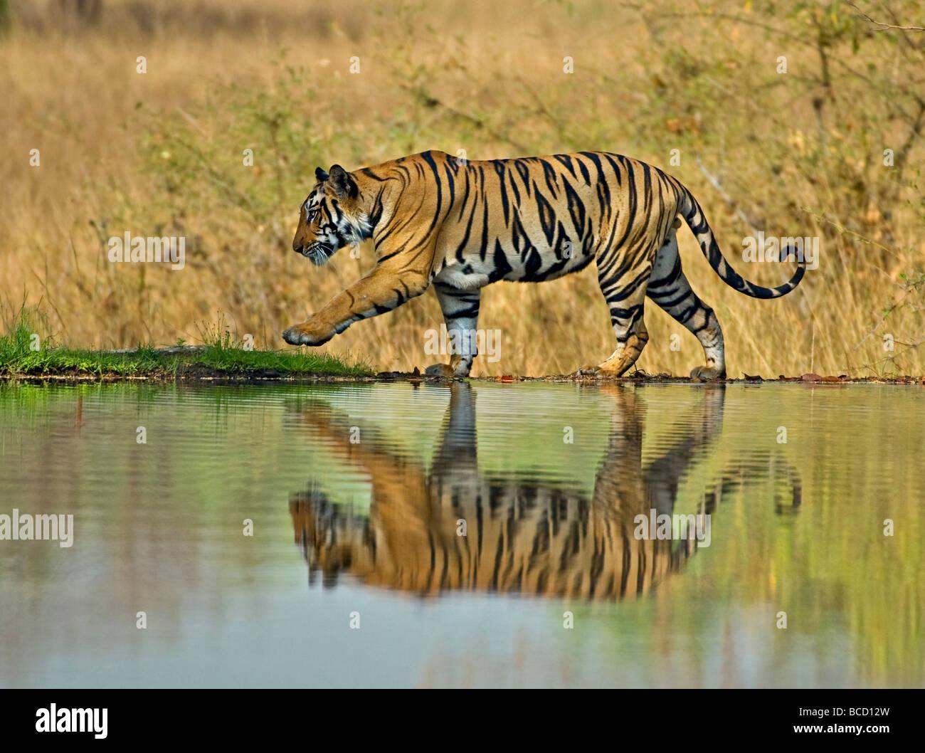 BENGAL TIGER (Panthera tigris tigris) male on lake. Bandhavgarh. India - Stock Image