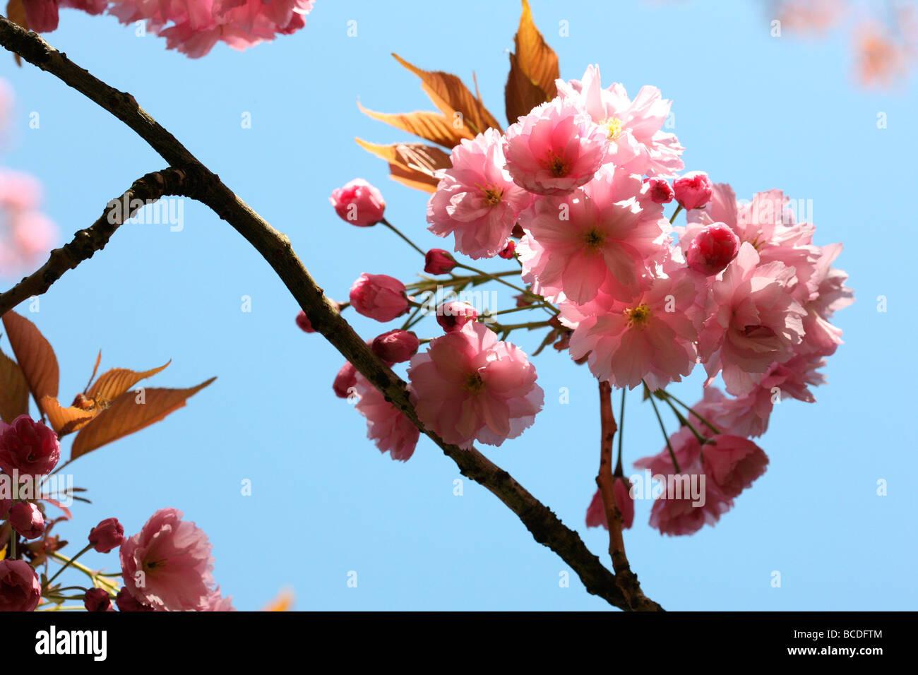 a taste of spring prunus cherry blossom fine art photography Jane Ann Butler Photography JABP453 - Stock Image