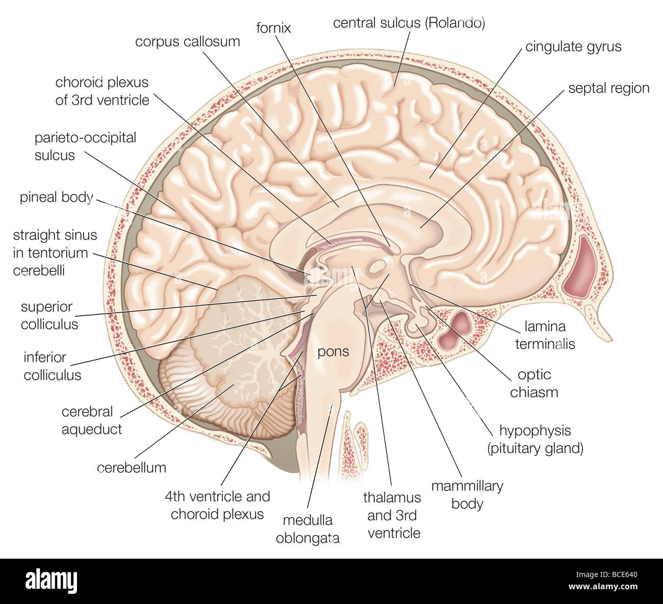 Cingulate gyrus stock photos cingulate gyrus stock images alamy medial view of the left hemisphere of the human brain stock image ccuart Image collections