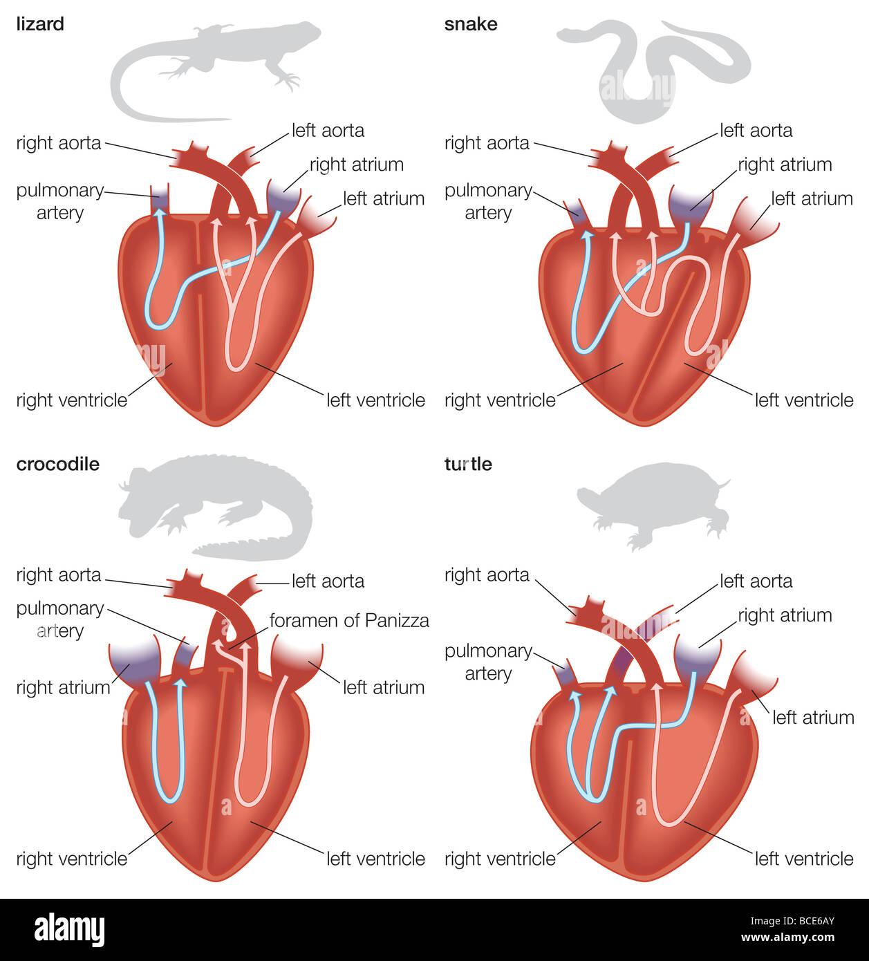 Reptile Heart Diagram Wire Data Schema Scr Driver Circuit Tradeoficcom Types Of Reptilian Hearts Lizard Snake Crocodile And Amphibian Fish