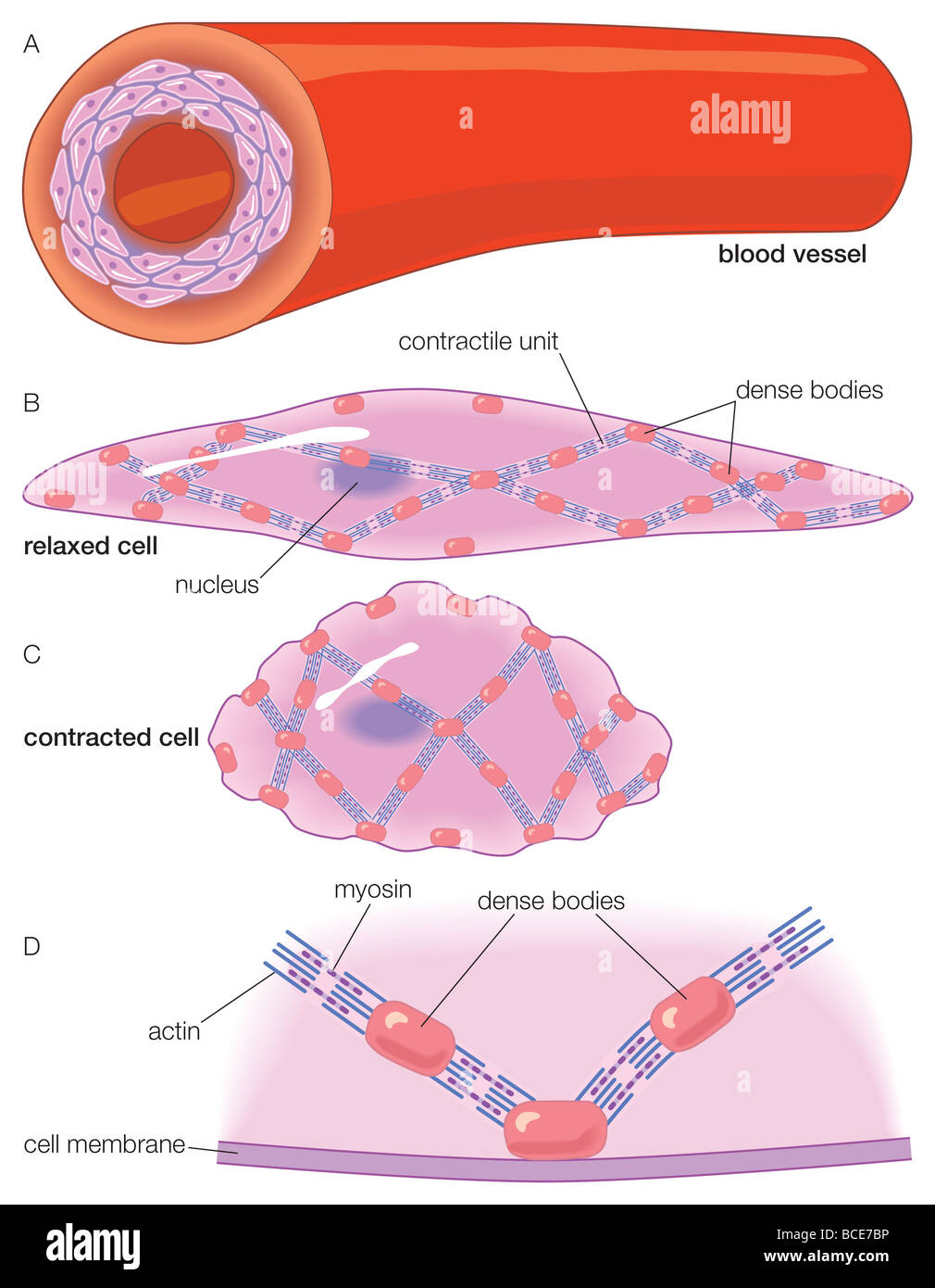 the artery wall and the ultrastructure of the smooth muscle cells