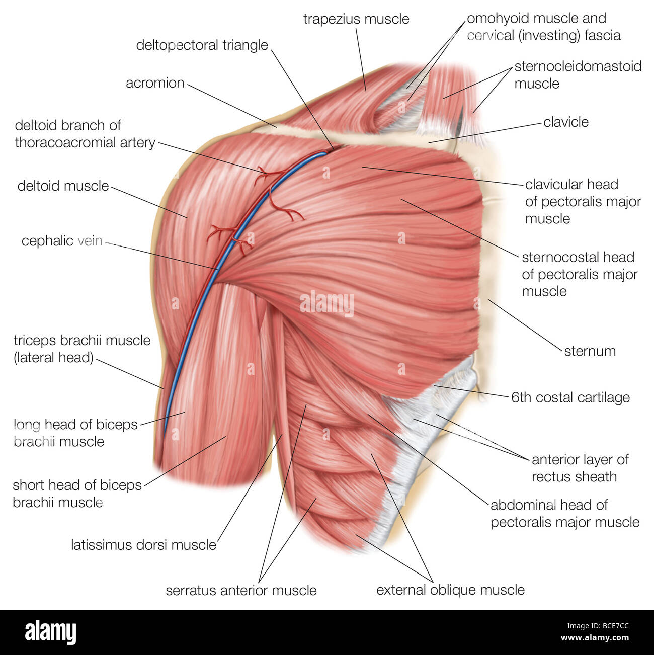 The muscles of the human shoulder, as well as the cephalic vein and ...