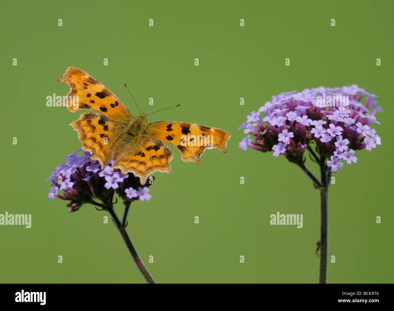 A comma butterfly (Polygonia c-album, Nymphalis c-album) with wings open showing orange markings feeds on Verbena Stock Photo