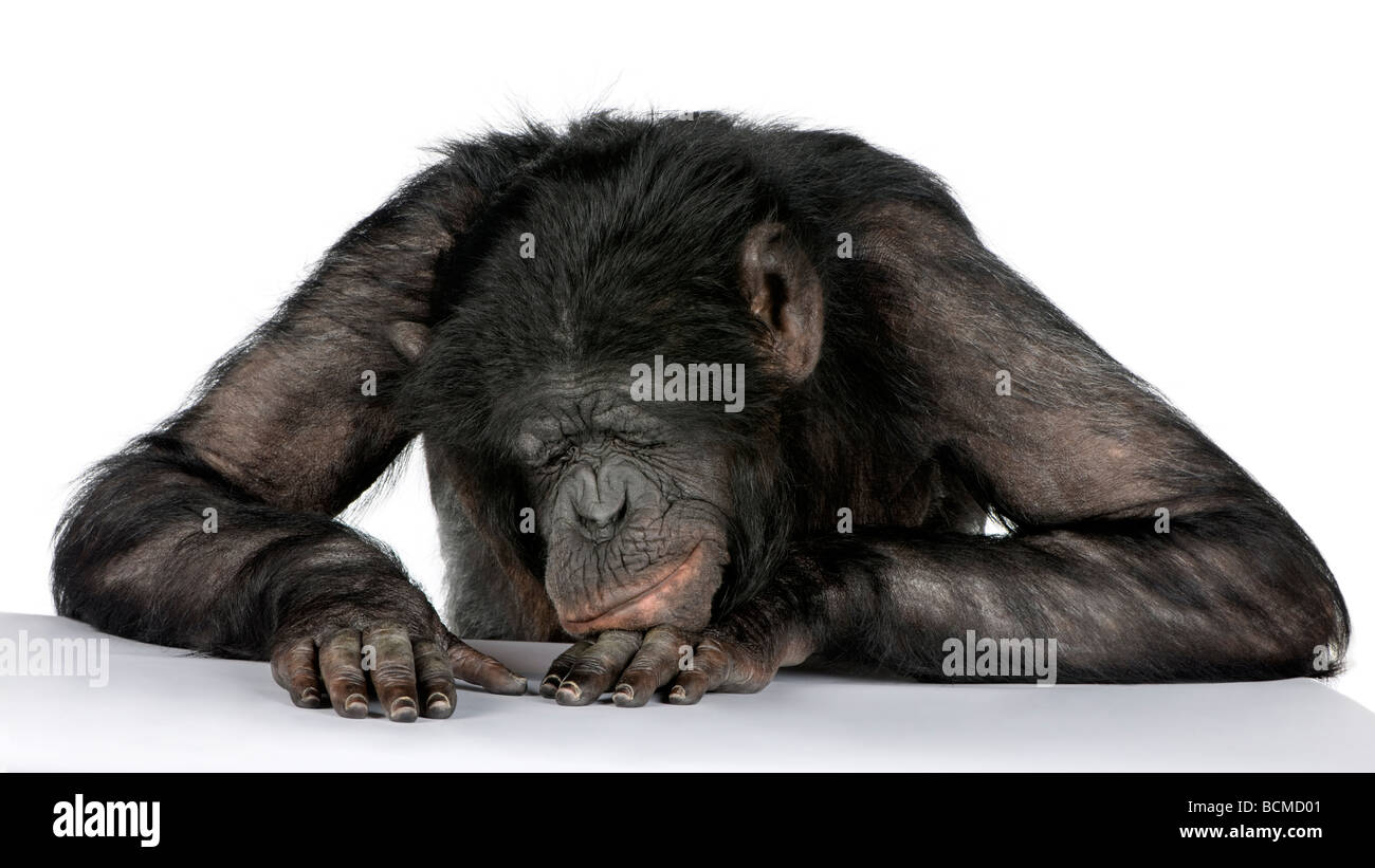 Monkey sleeping on his desk, Mixed Breed between Chimpanzee and Bonobo, 20 years old, in front of a white background - Stock Image