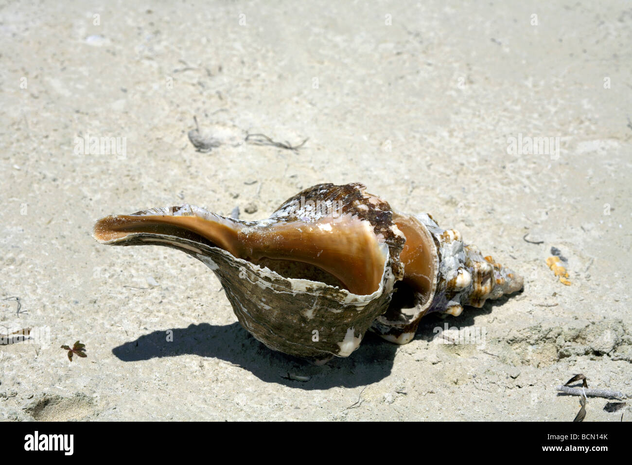 Conch Shell on beach, Holbox island, Quintana Roo, Yucatán Peninsula, Mexico, - Stock Image