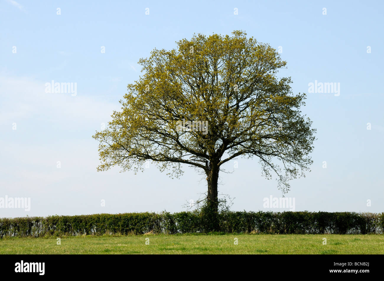 A neatly cut field hedge with an Oak tree (Quercus Robur) with leaves just appearing in spring. Burwash, Sussex, Stock Photo
