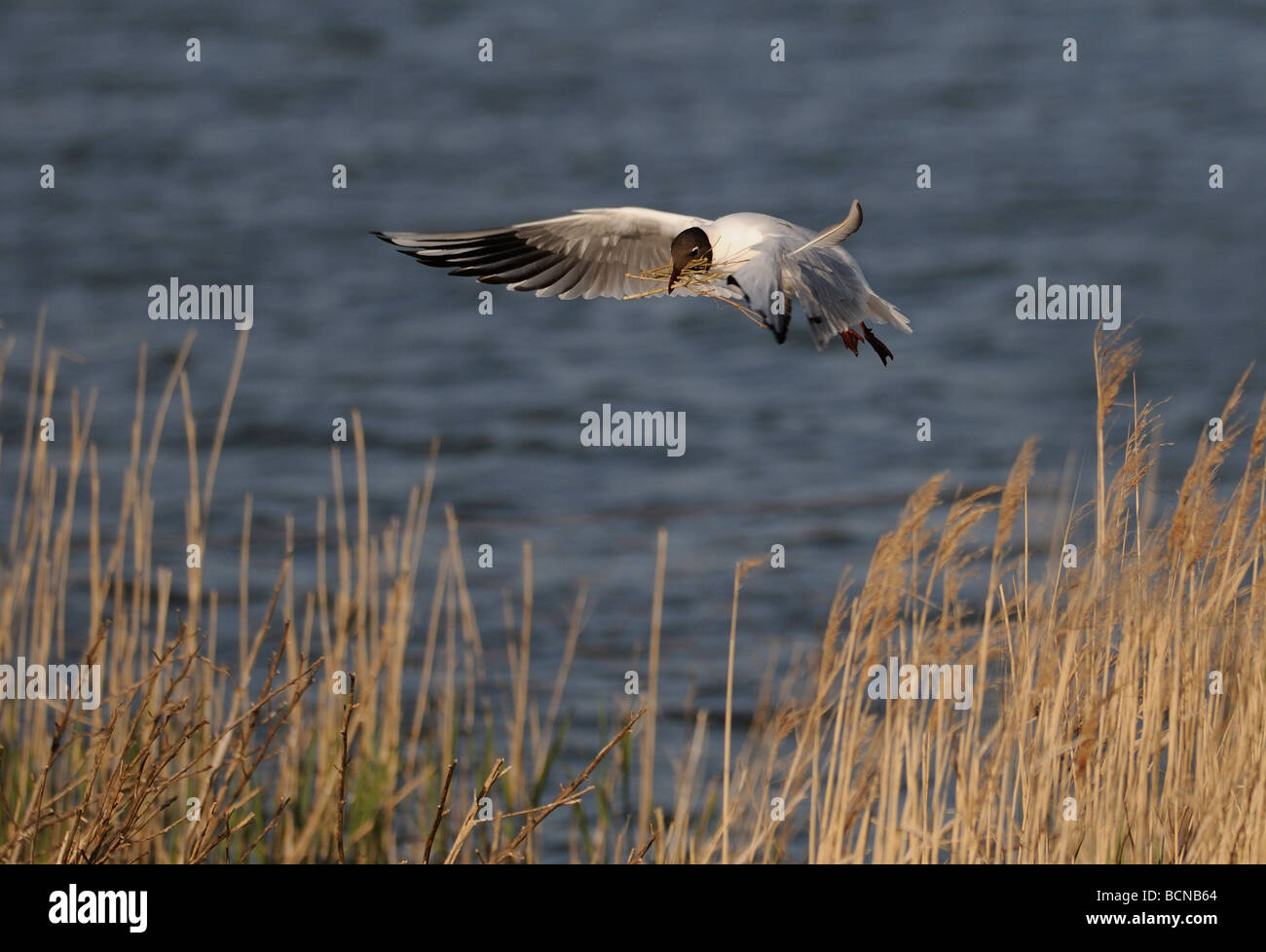A Black-headed Gull (Larus ridibundus) in breeding plumage comes into land at its nest with a beak full of sticks. Stock Photo