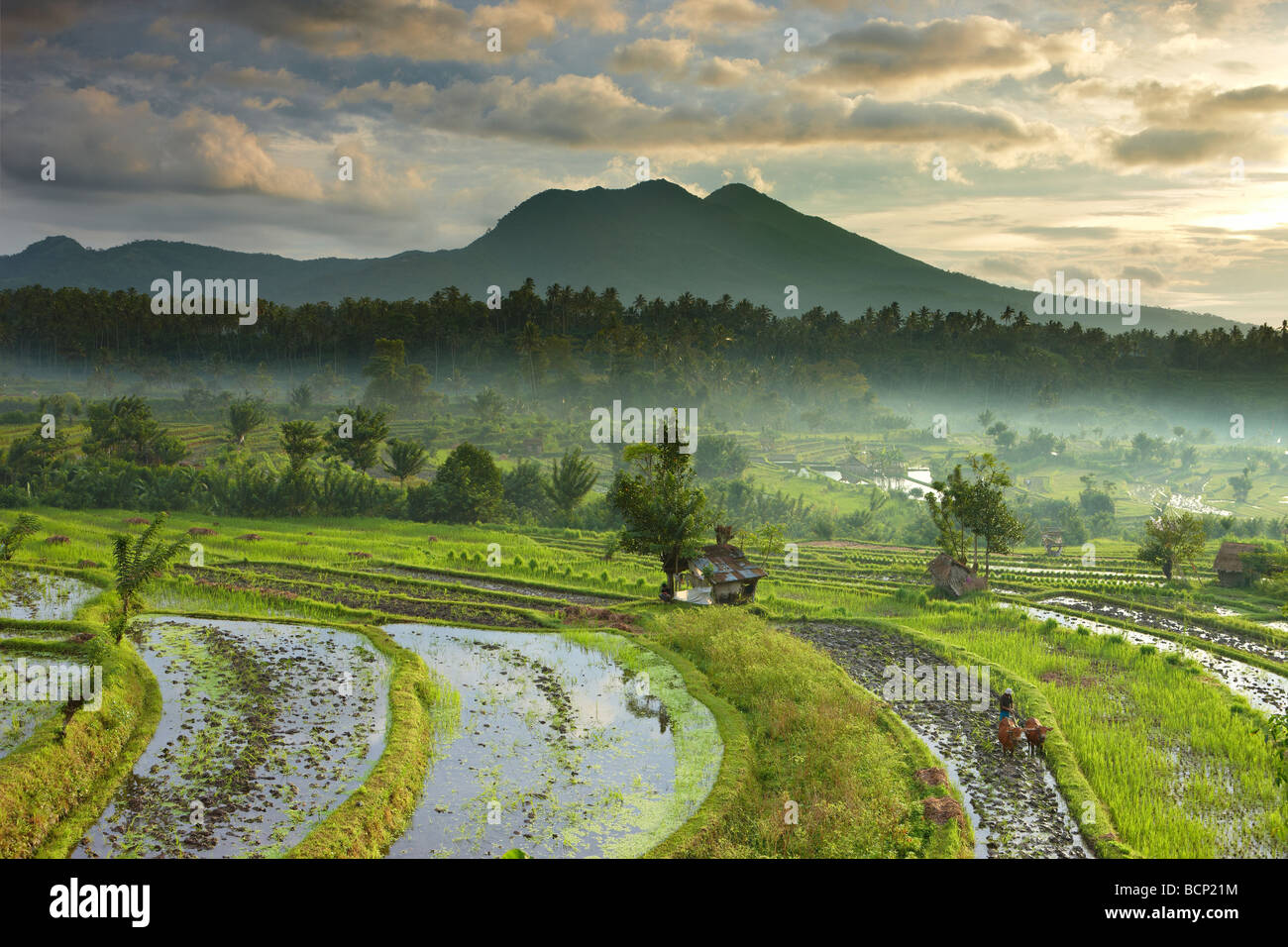 ox driven plough in the terraced rice fields nr Tirtagangga at dawn with the volcanic peak of Gunung Lempuyang, - Stock Image