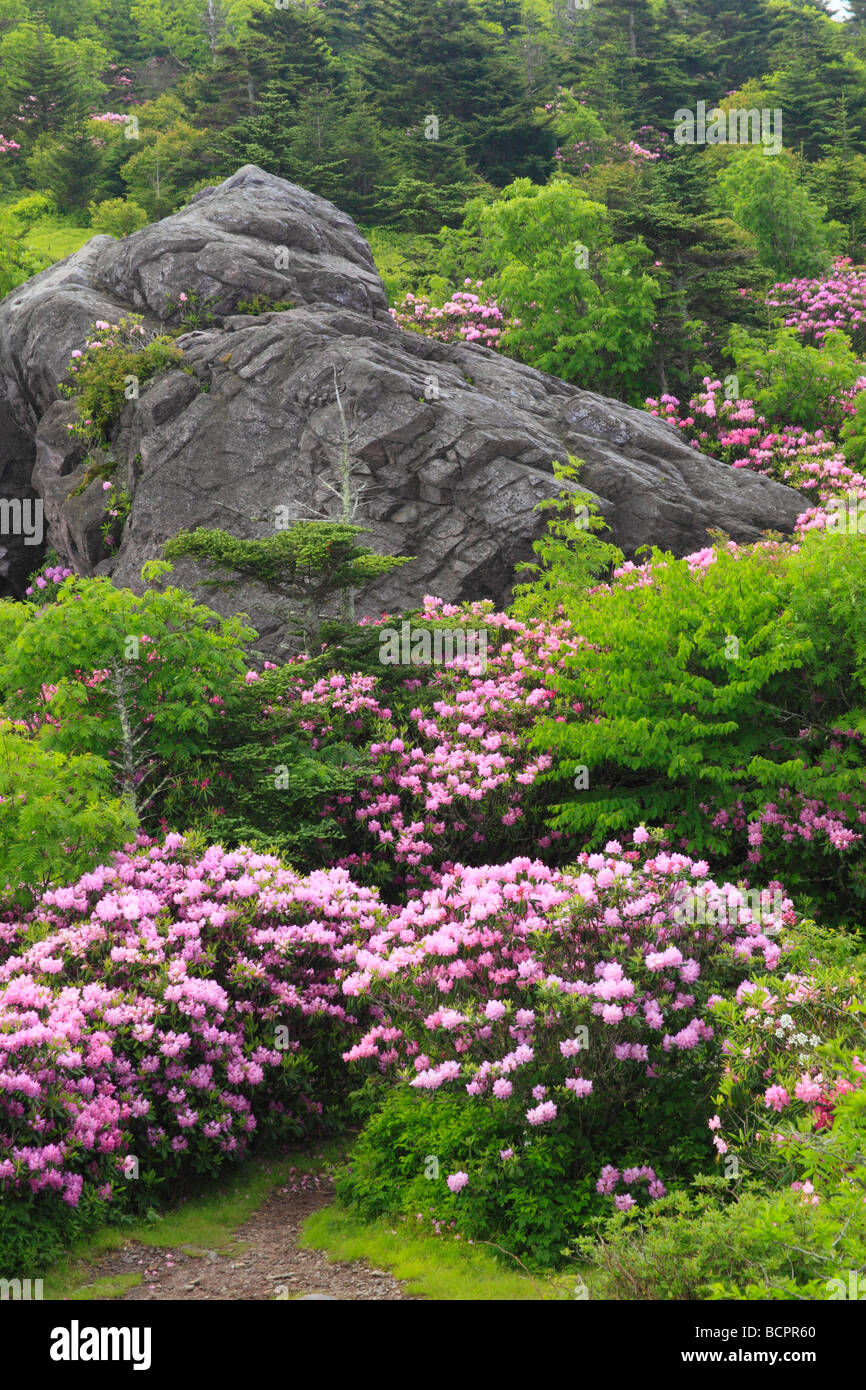 Rhododendron along Appalachian Trail Rhododendron Gap Mount Rogers National Recreation Area Virginia Stock Photo