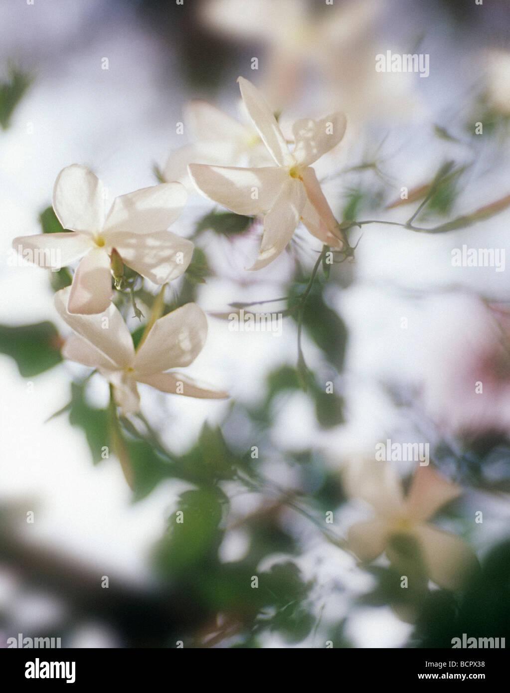 Jasminum officinale jasmine delicate white flowers on the climbing jasminum officinale jasmine delicate white flowers on the climbing plant mightylinksfo Gallery