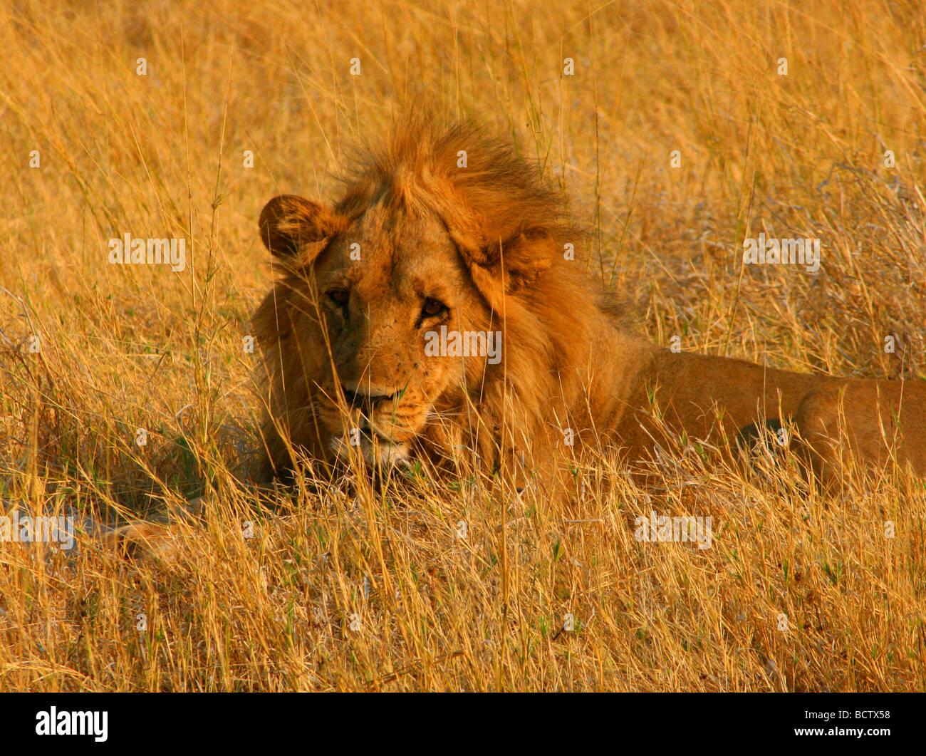 Lion (Panthera leo) lying in the tall grass, Okavango Delta, Botswana - Stock Image