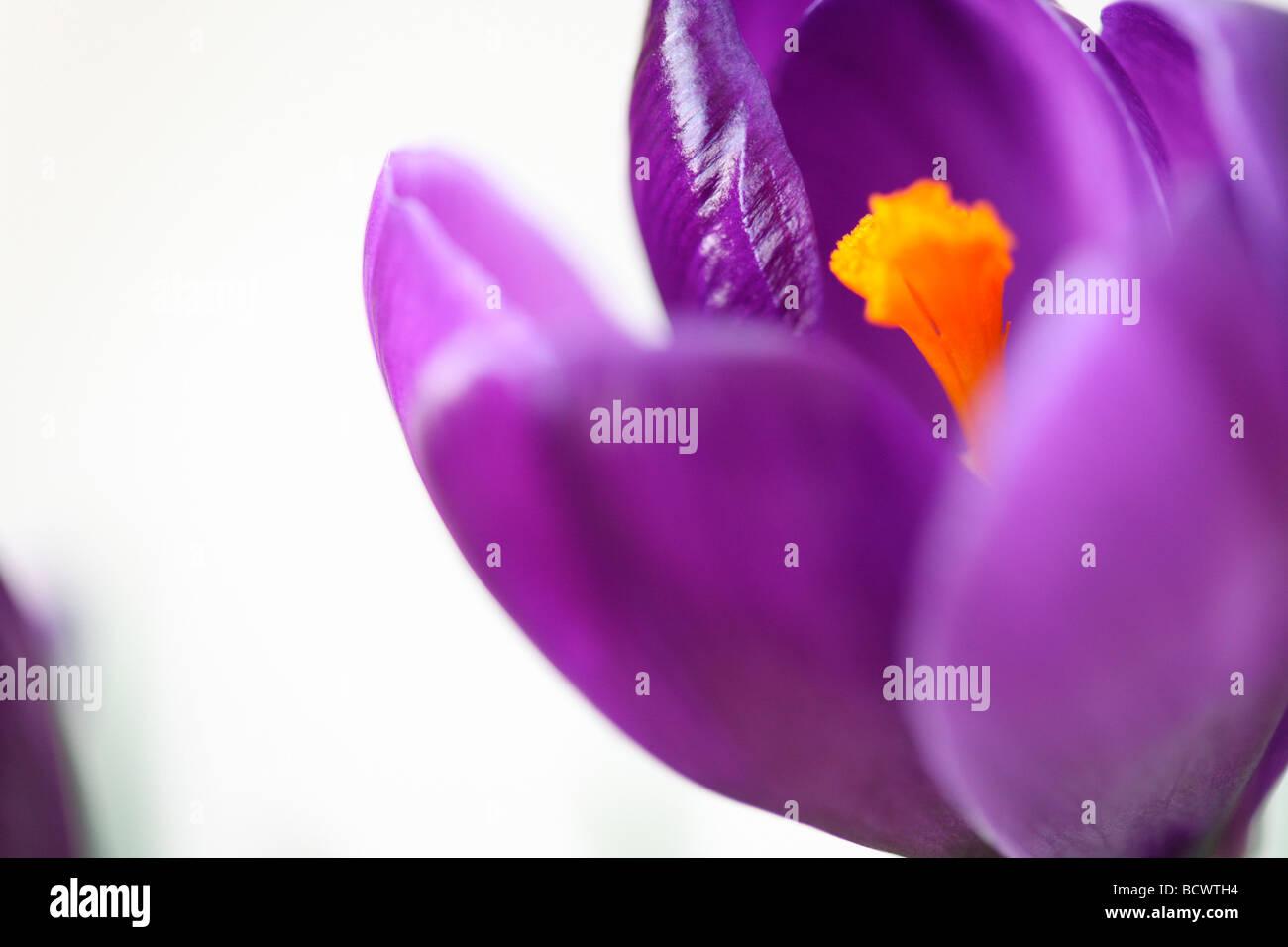 beautiful spring crocus fine art photography Jane Ann Butler Photography JABP337 - Stock Image