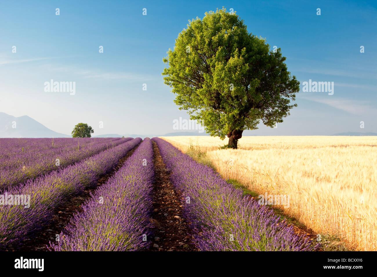 Lavender field near Valensole France - Stock Image