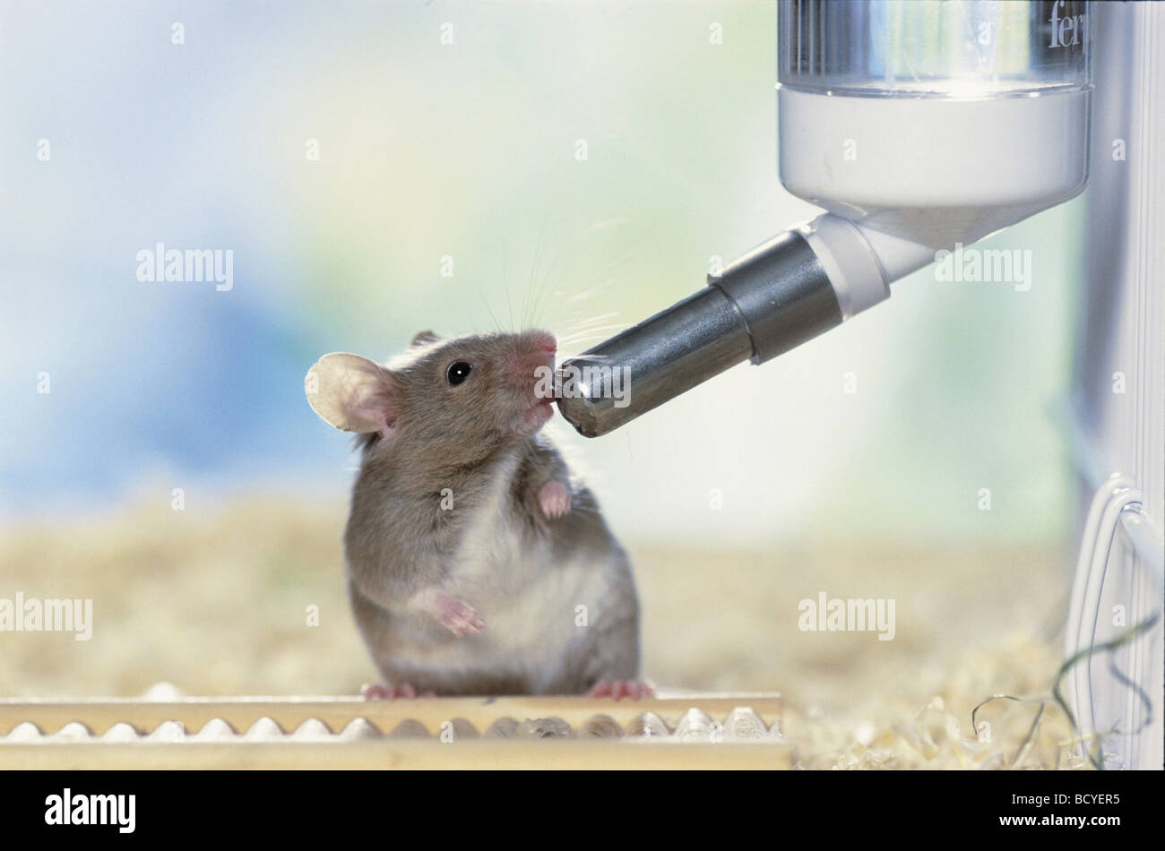 Fancy Mouse Stock Photo