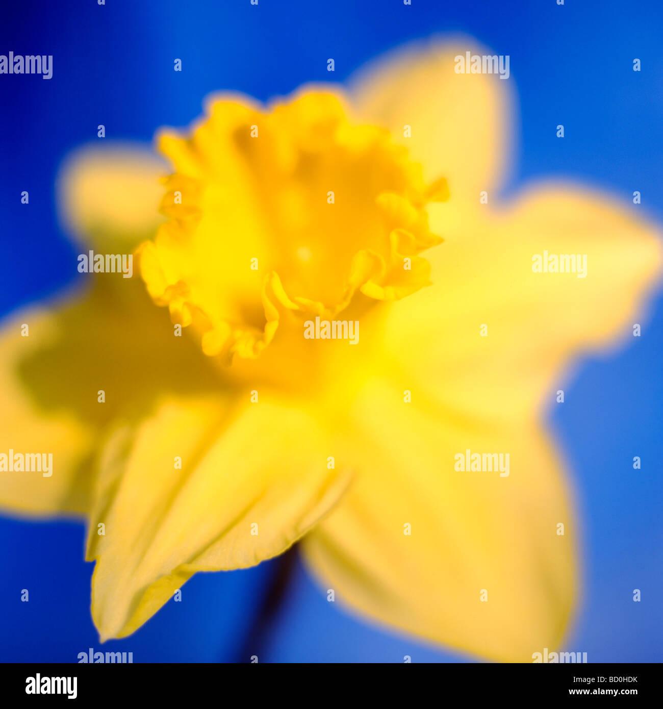epitome of a springtime daffodil fine art photography Jane Ann Butler Photography JABP286 - Stock Image